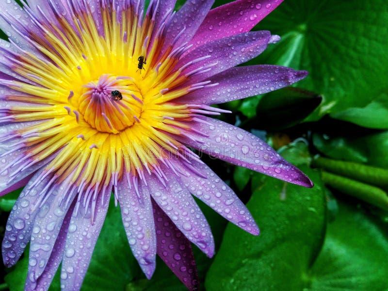 Фиолетовый лотос зацветает в саде стоковые изображения