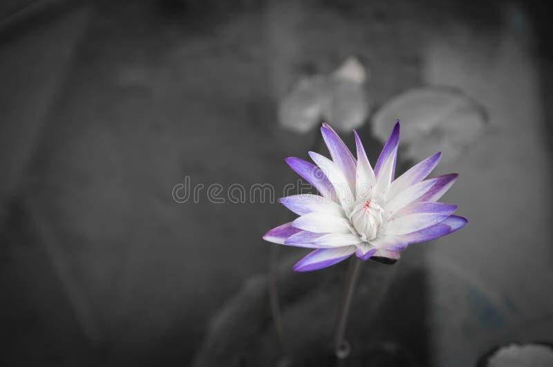фиолетовый лотос, мочит lilly стоковое изображение