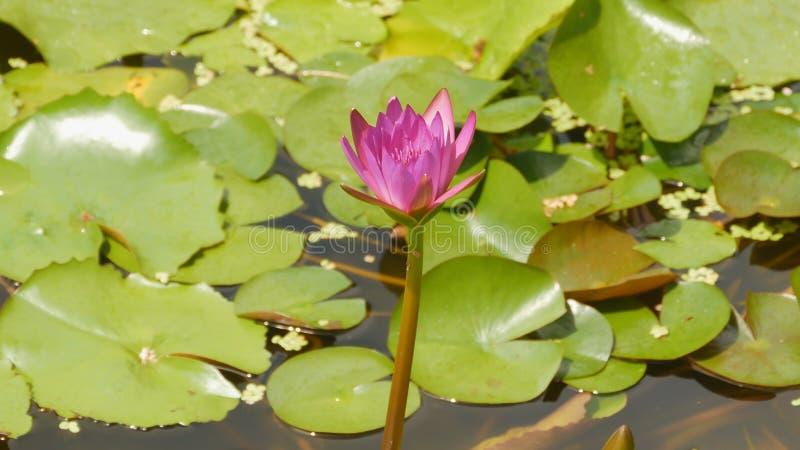 Фиолетовый розовый Nymphaea воды в пруде с фонтаном вода сада красивейший цветок Вьетнам стоковое фото