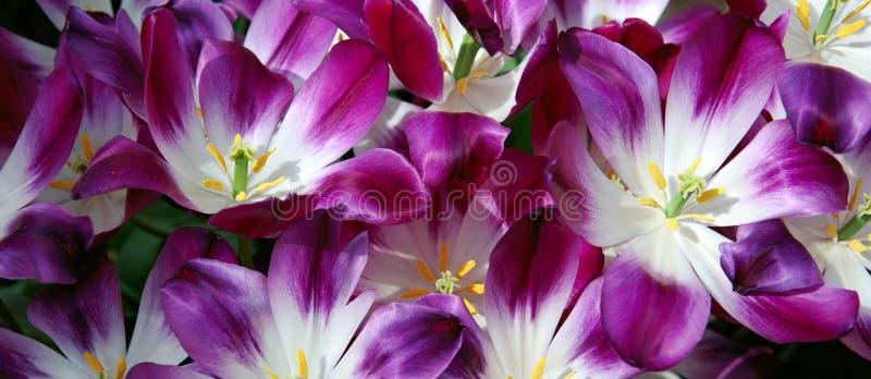 Фиолетовый сад тюльпанов весной E стоковые изображения