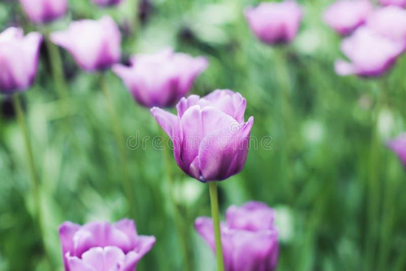 Фиолетовый тюльпан стоковое фото