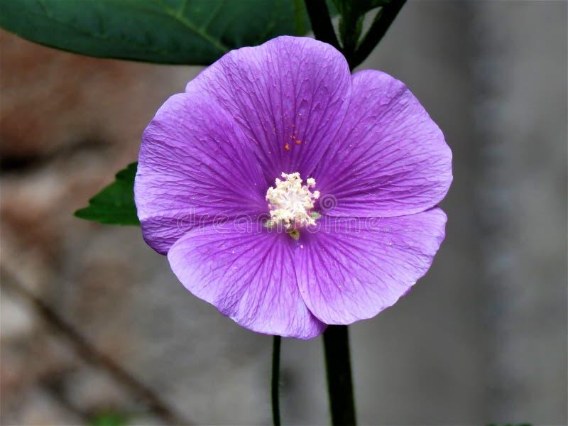 Фиолетовый цветок который значит ясную мысль и душевное спокойствие стоковое изображение rf