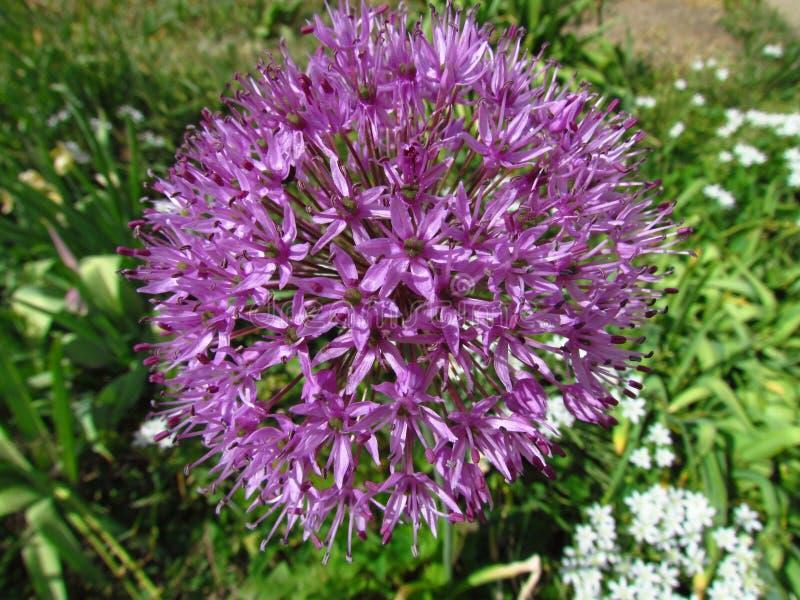 Фиолетовый цветок культивируемого чеснока сада, ботанического лукабатуна имени стоковые фотографии rf