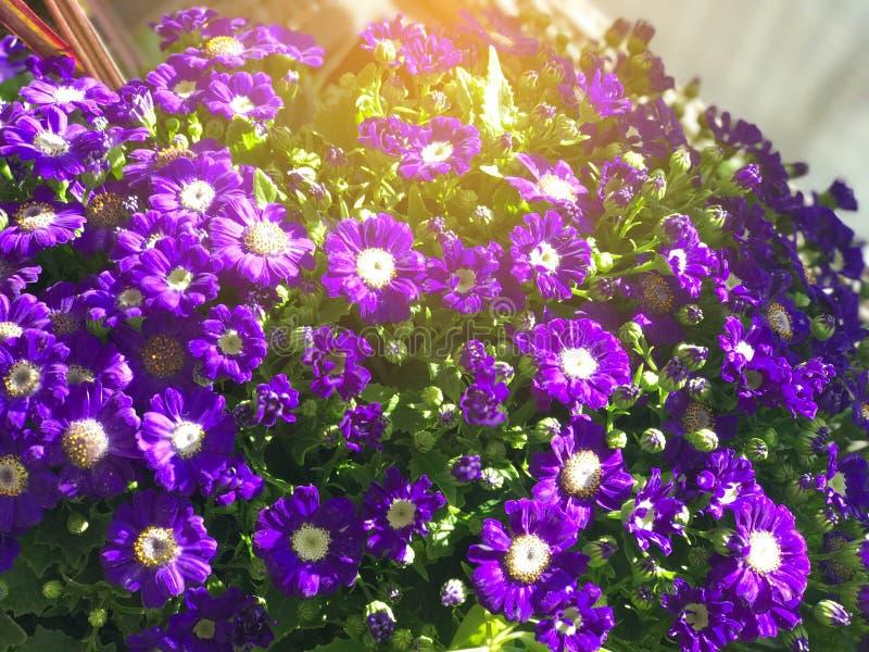 Фиолетовый цветок маргаритки под светом солнца стоковые изображения rf