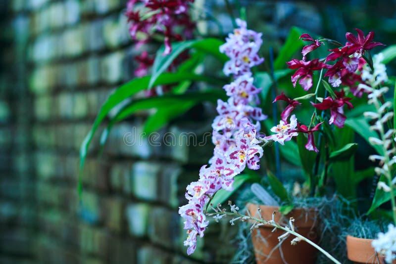 Фиолетовый цветок pansy, конец-вверх альта tricolor весной стоковые изображения rf