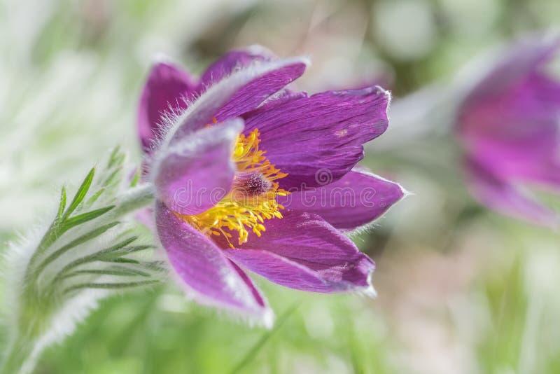 Фиолетовый цветок pulsatilla - заживление трава стоковые изображения rf