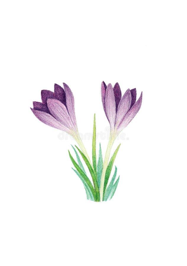 2 фиолетовых крокуса на белой предпосылке иллюстрация штока