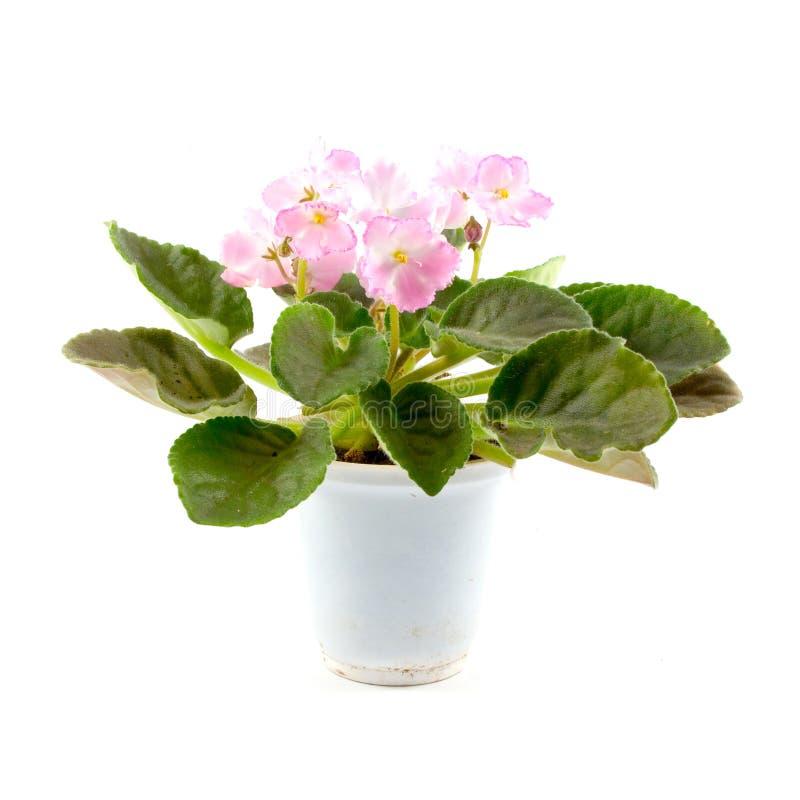 фиолет комнаты цветка стоковая фотография