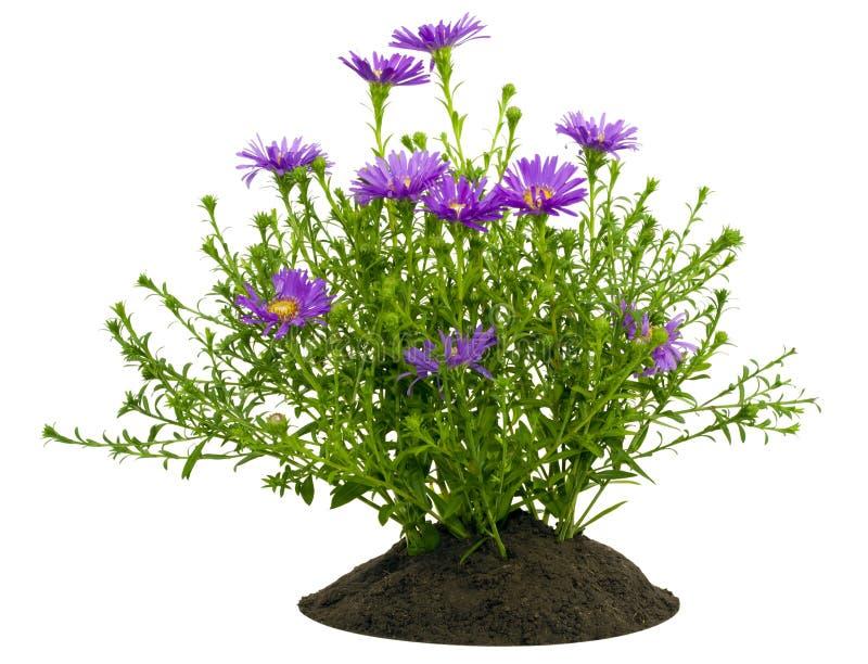 фиолет хризантем bush кровати малый стоковая фотография