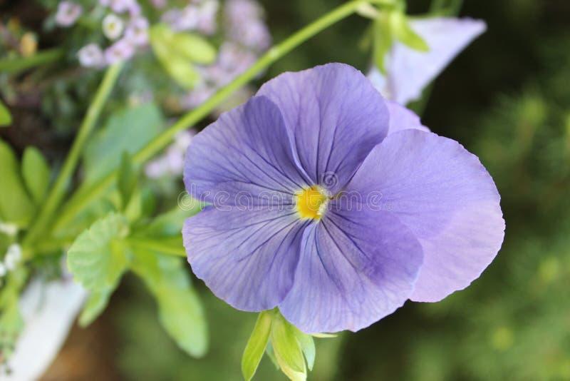 Фиолет Birdfoot стоковая фотография