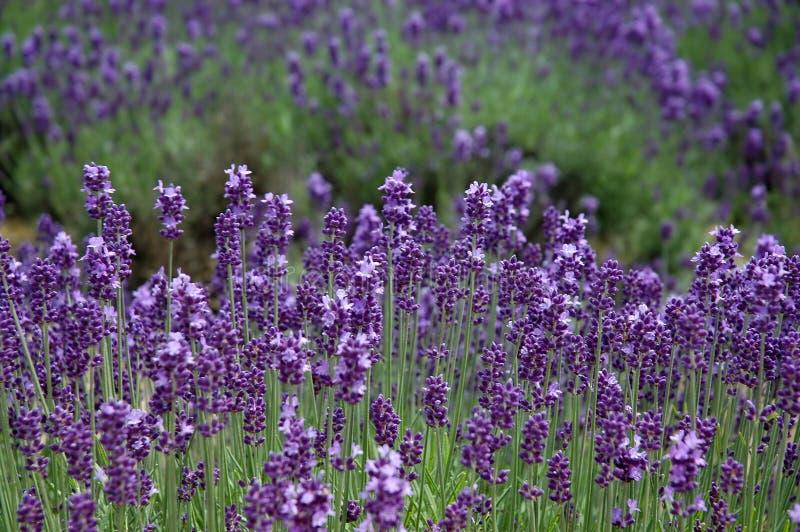 фиолет levender поля стоковое изображение rf