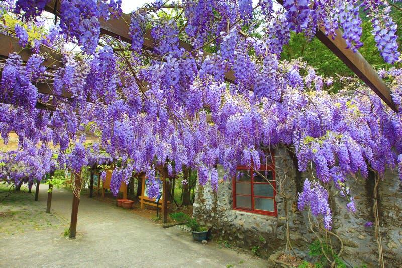 Фиолетовая глициния цветет, дерево фасоли, китайская глициния, фиолетовая лоза стоковые фотографии rf