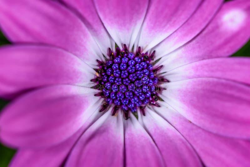 Фиолетовая маргаритка накидки, макрос центра стоковая фотография