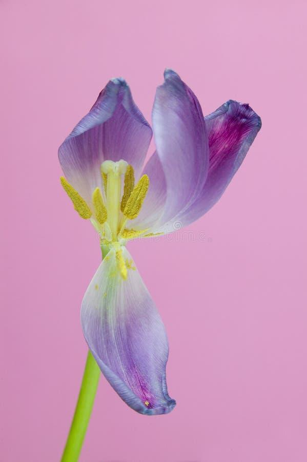 Фиолетовая предпосылка пинка тюльпана стоковые фотографии rf