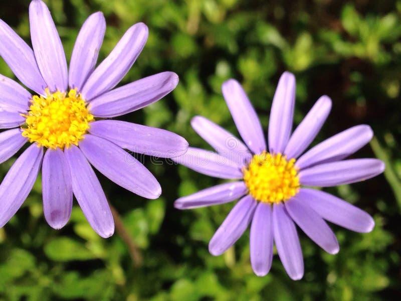 Фиолетовое весеннее время голубых маргариток стоковая фотография