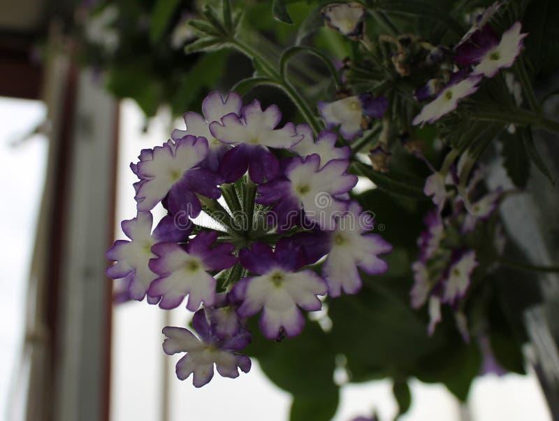 Фиолетовое и белое Calibrachoa стоковая фотография rf