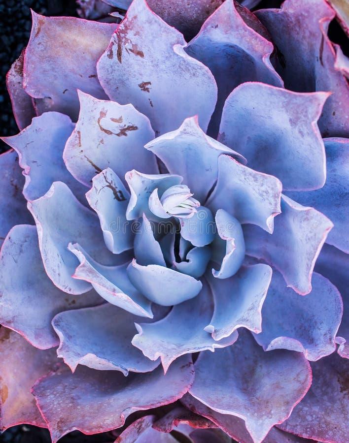 Фиолетовое послесвечение Echeveria стоковые изображения rf
