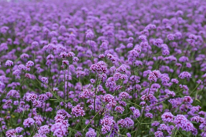 Фиолетовое поле вербены стоковое фото rf