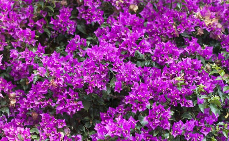Фиолетовое фото цветка бугинвилии на предпосылке природы стоковое изображение