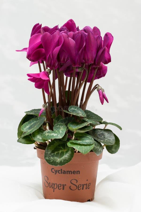 Фиолетовое цветене cyclamen и зеленые лист Зацветая цветок сирени Фиолетовые цветение и бак Белая предпосылка стоковые изображения