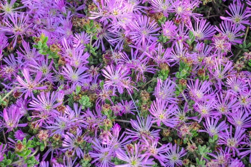 Фиолетовое delosperma (отставая iceplant, выносливый лед, розовый ковер) fl стоковые фотографии rf