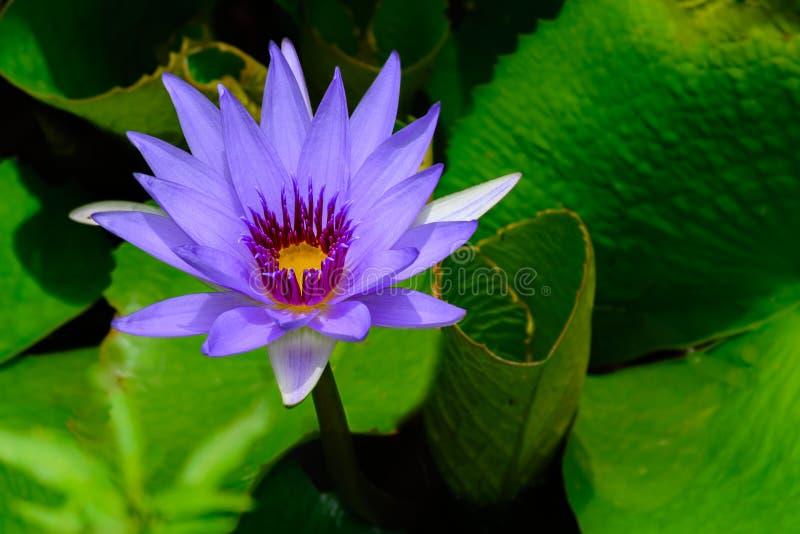 """Фиолетовое """"Director t Nymphaea лилии воды Сирень  Moore†одиночная стоковые изображения"""