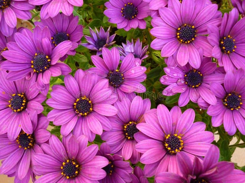 Фиолетовое fruticosa Dimorphoteca цветка стоковое фото rf