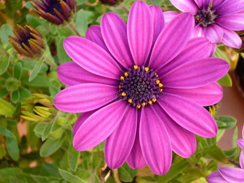 Фиолетовое fruticosa Dimorphoteca цветка стоковое фото
