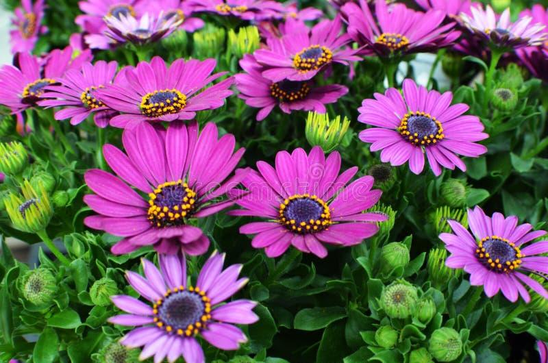 Фиолетовое Osteospermum, африканская маргаритка или маргаритка плащи-накидк стоковые фото