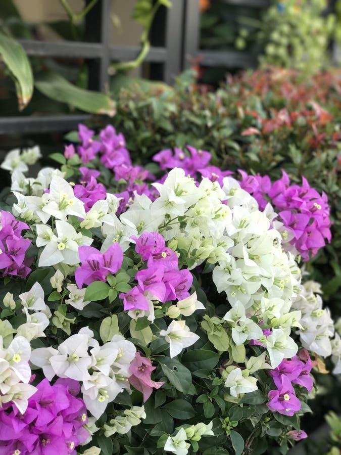 Фиолетовые & белые цветки стоковое фото rf