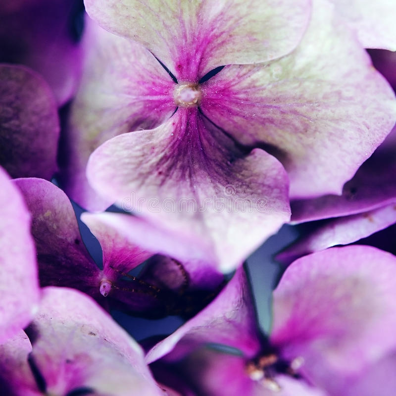 Фиолетовые лепестки стоковое изображение rf