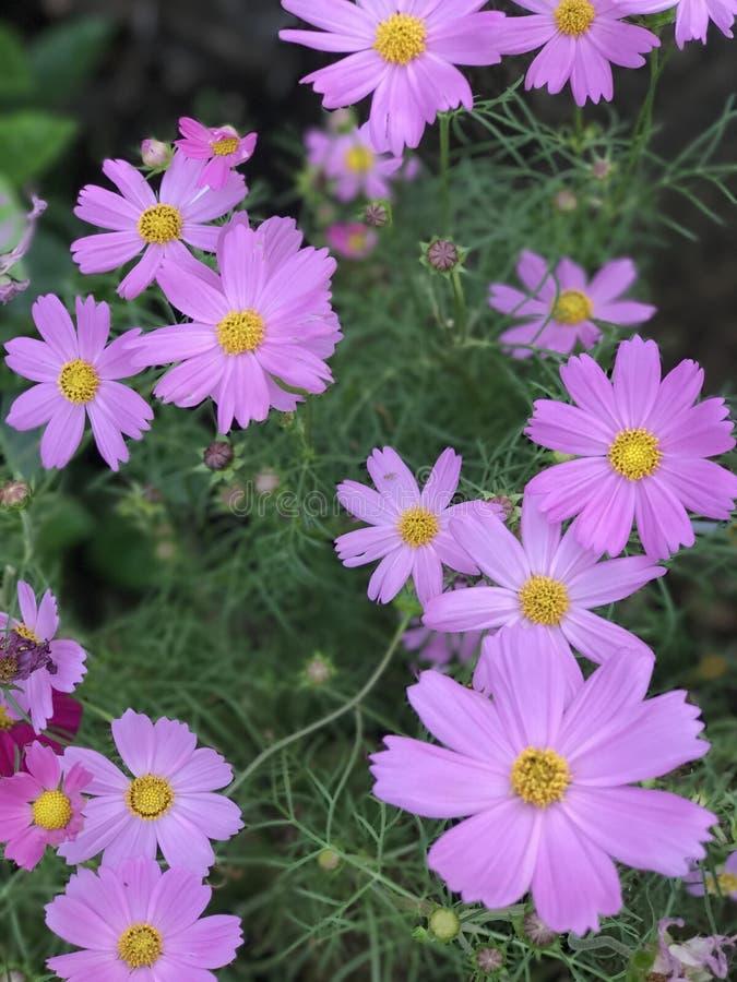 Фиолетовые & желтые цветки стоковые изображения