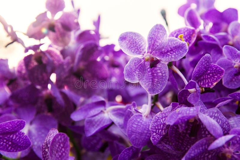 Фиолетовые или фиолетовые цветки орхидеи ascocenda стоковые изображения rf