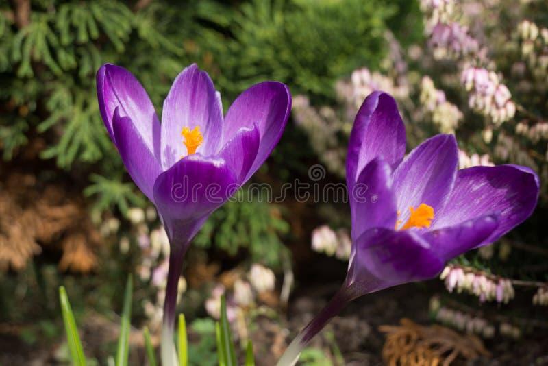 Фиолетовые крокусы стоковое изображение rf