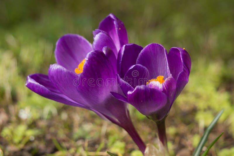 Фиолетовые крокусы стоковое фото