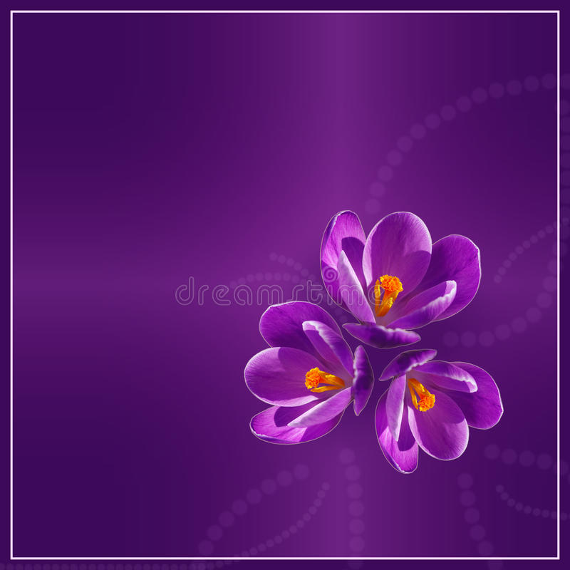 Фиолетовые крокусы стоковые изображения