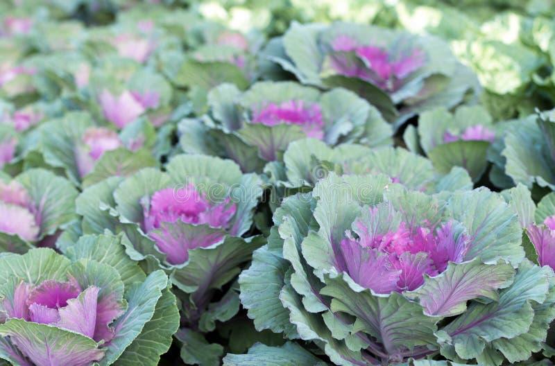 Фиолетовые орнаментальные заводы капусты стоковая фотография rf