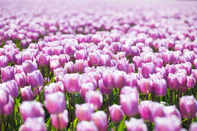 Фиолетовые поля тюльпана растут каждый год стоковое изображение