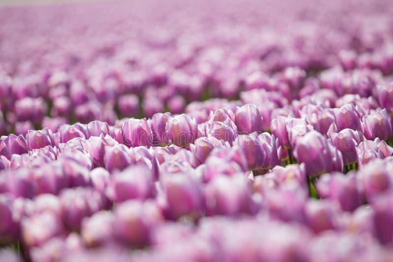Фиолетовые поля тюльпана растут каждый год стоковая фотография rf
