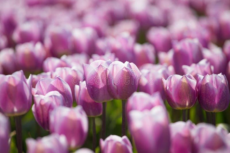 Фиолетовые поля тюльпана растут каждый год стоковые изображения rf