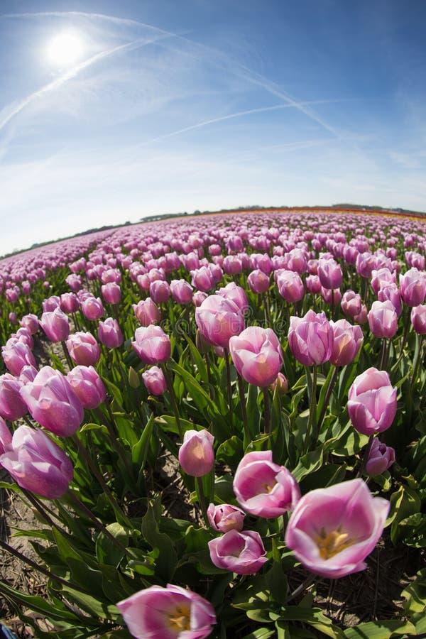 Фиолетовые поля тюльпана растут каждый год стоковые фото