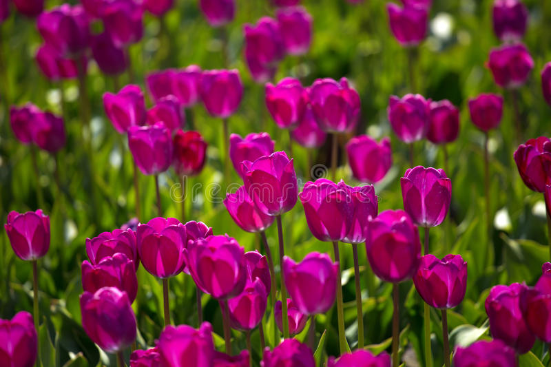 Фиолетовые поля тюльпана растут каждый год стоковые фотографии rf