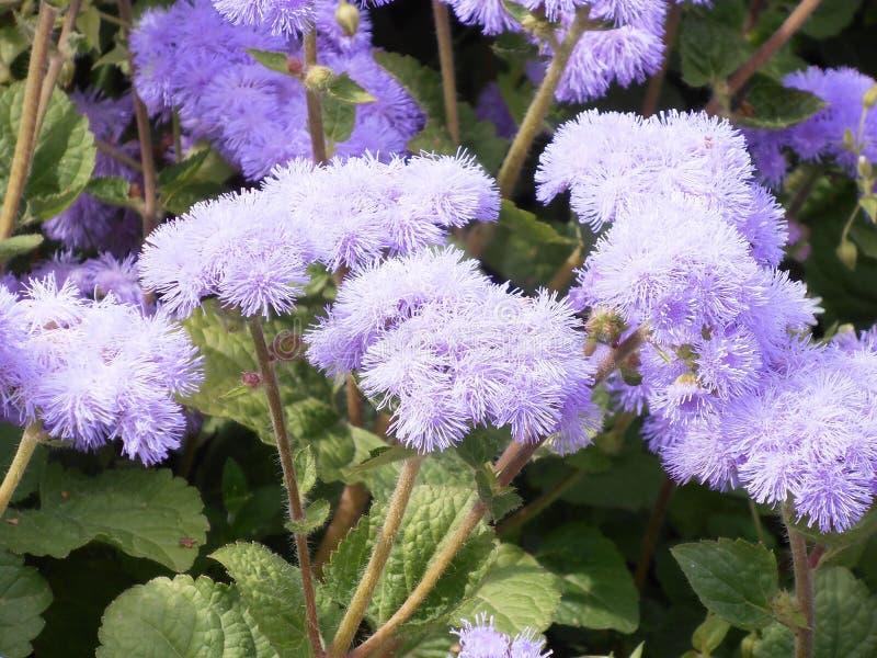 Фиолетовые пушистые цветки ageratum стоковое фото