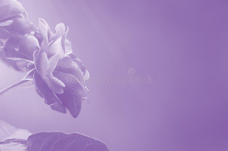 Фиолетовые розы на запачканном конспекте предпосылки стоковое фото rf