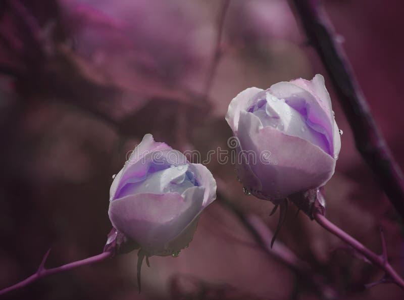 Фиолетовые розы на фиолетов-розовой предпосылке после дождя с падениями воды Конец-вверх вектор детального чертежа предпосылки фл стоковое фото rf