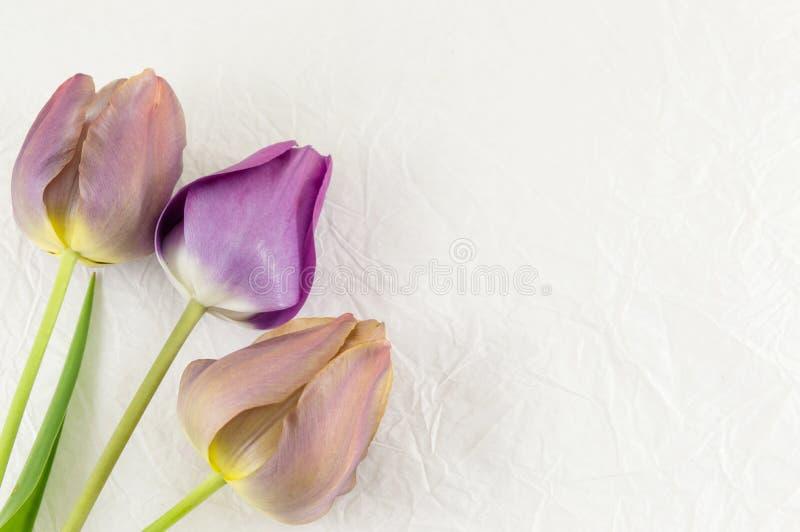 Фиолетовые тюльпаны на белой предпосылке стоковое изображение