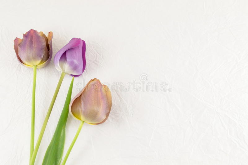 Фиолетовые тюльпаны на белой предпосылке стоковая фотография rf