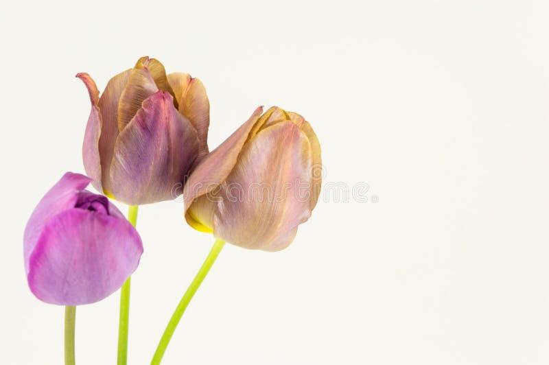 Фиолетовые тюльпаны на белой предпосылке стоковые изображения