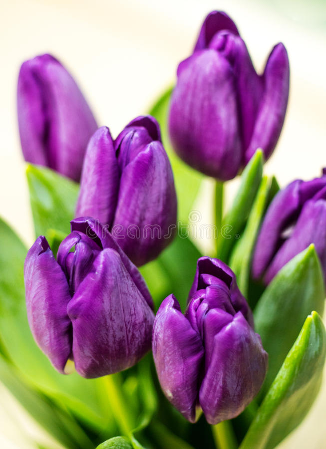 Фиолетовые тюльпаны с зелеными листьями на сметанообразной предпосылке стоковые фото