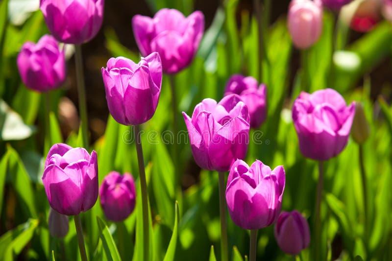 Фиолетовые тюльпаны стоковое фото